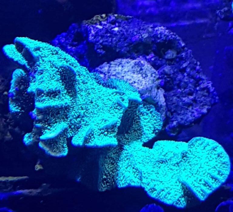 koraal2